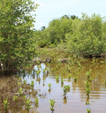 2.Restoration of degraded mangroves forest ( planting and conservation)